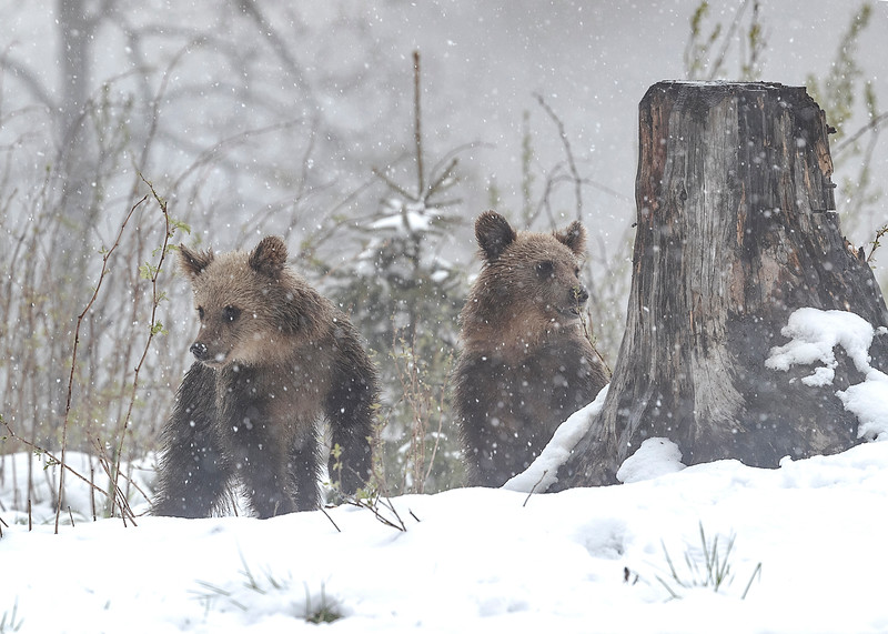 2nd year  cubs