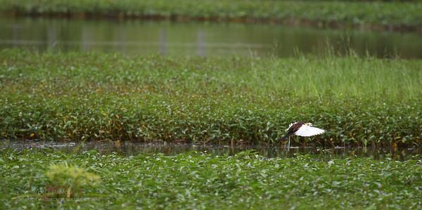 Masantol and Macabebe,  Pampanga Birds