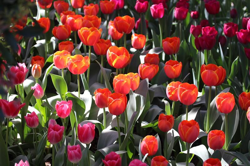 2015-03-30 2015 Tulips 125.JPG