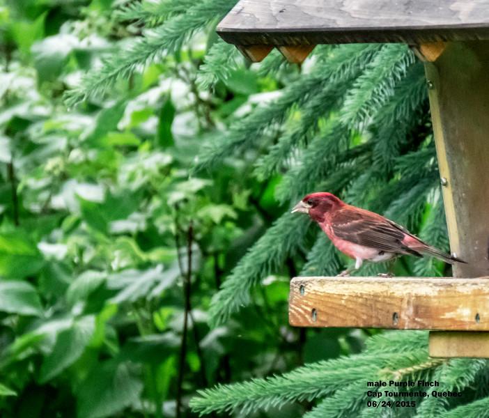 a624 1507 IMG_1066 3T male Purple Finch Cap Tormente Quebec.jpg