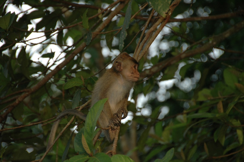 Baby Monkey - Khao Sok, Thailand
