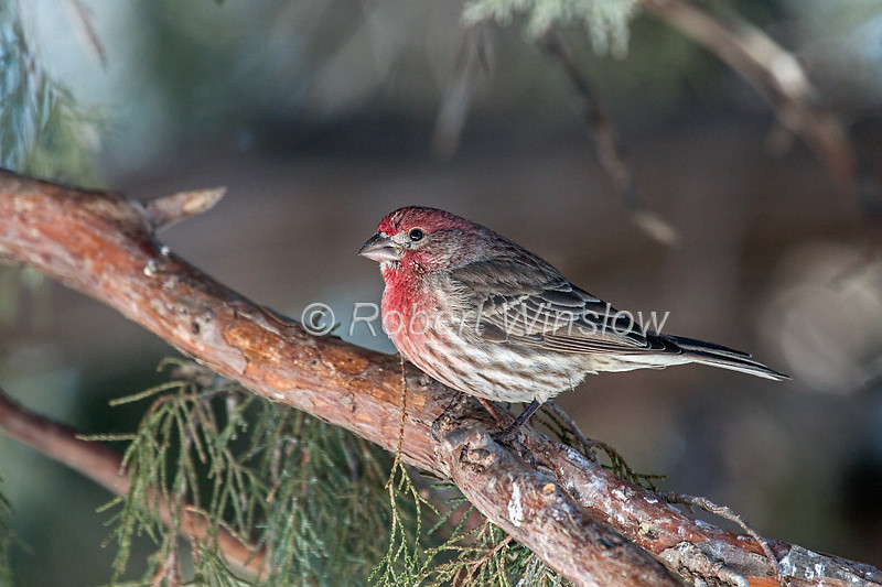 House Finch, Carpodacus mexicanus, or Haemorhous mexicanus, La Plata County, Colorado, USA, North America