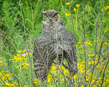 Great Horned Owl - Huntley Illinois