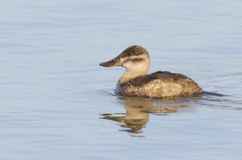 Ruddy Duck - Hen