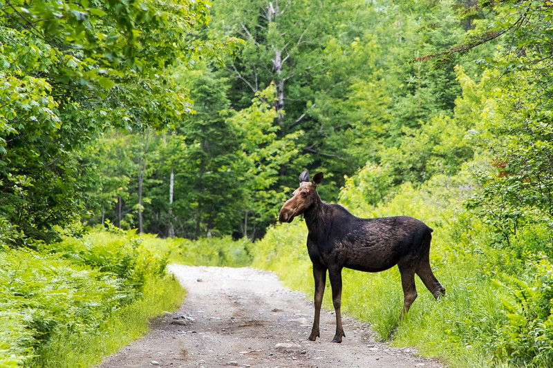 Moose in Rangeley