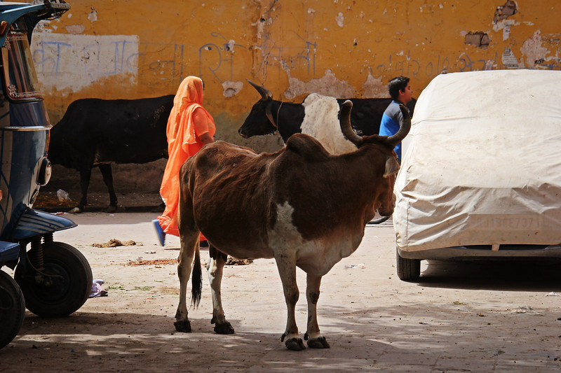 Cows in the streets of India