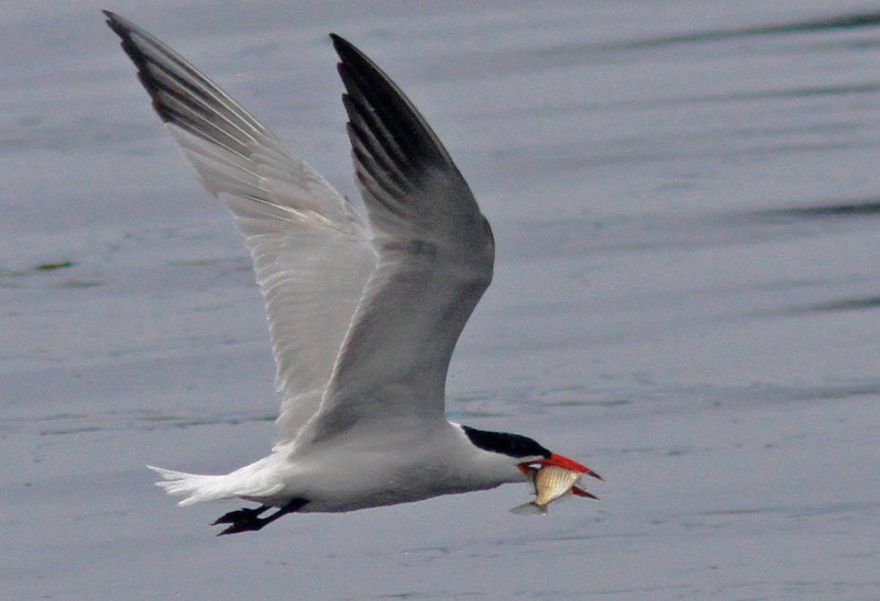 WB~Ternfishstripedflying1600.jpg