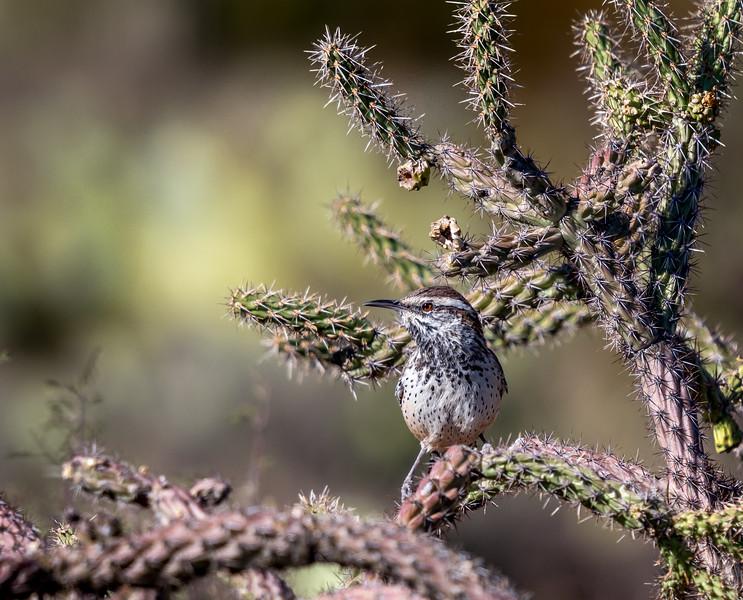 Cactus Wren on Cholla #4