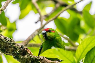 Red-fronted Parakeet [Cyanoramphus novaezelandiae]