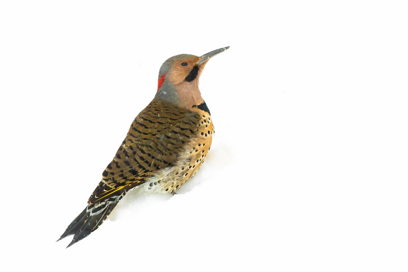 Northern Flicker and Snow