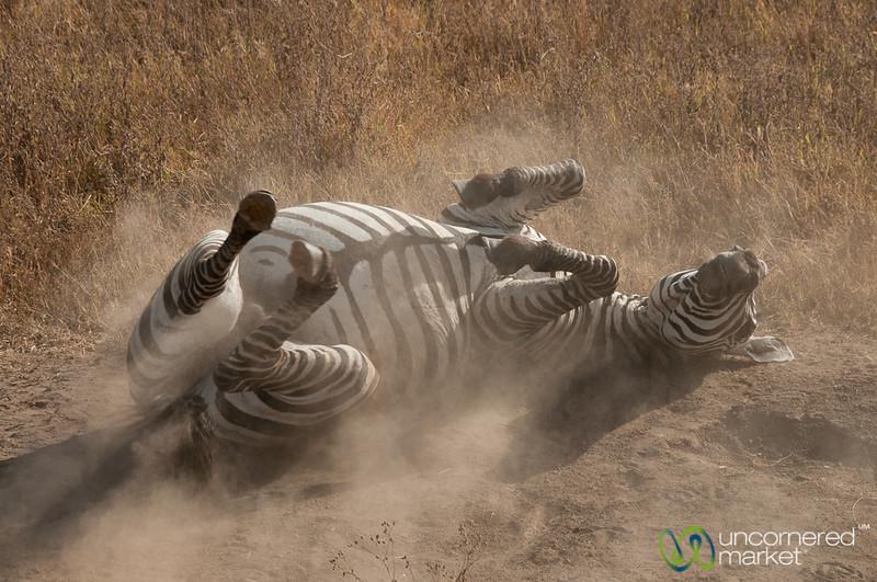 Zebra Dirt Bath - Ngorongoro Crater, Tanzania