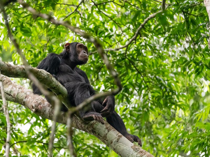 Uganda_T_Chimps-1122.jpg