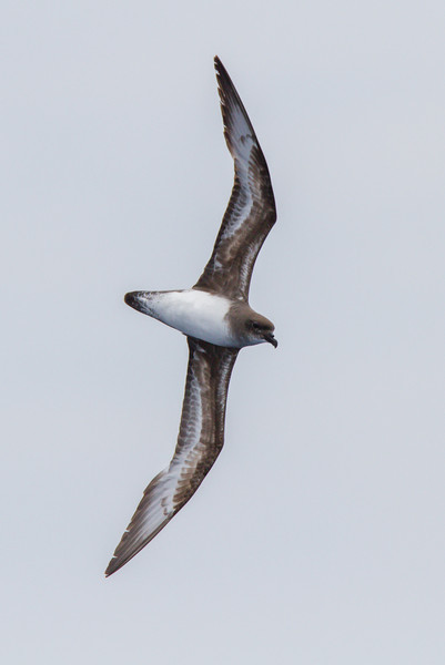 Trinidade Petrel light morph at Gulf Stream pelagic off Hatteras, NC (06-02-2012) 002-74.jpg