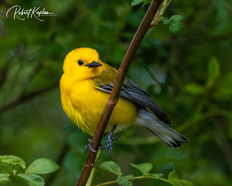 Prothonotary Warbler DeNoised_WM_7921-.jpg