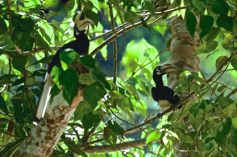 Pair of Oriental Pied Hornbilsl (Anthracoceros albirostris)
