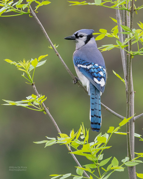 Blue Jay, Standing Bear Lake, NE, USA, May 2018-1.jpg