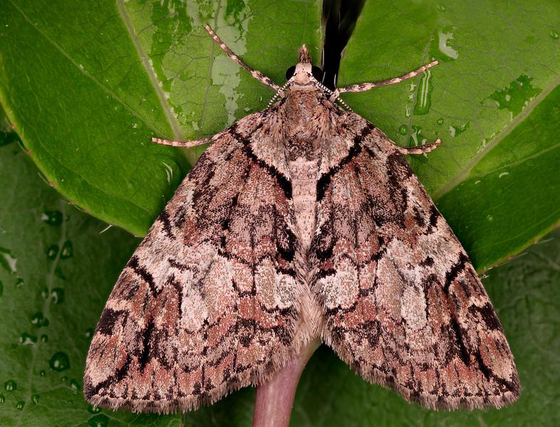Highflyers Moth