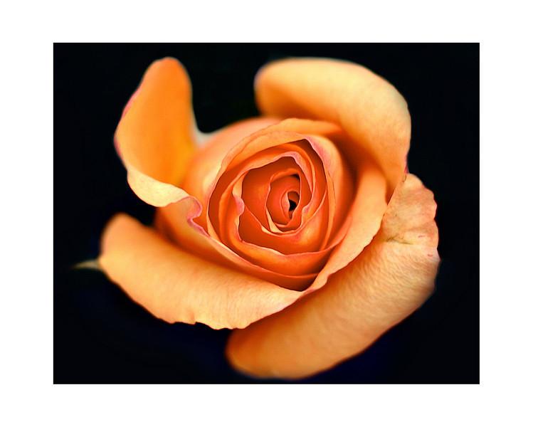 orange-rose-1.jpg