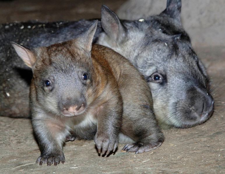 . Goldie, a female southern hairy-nosed wombat joey stays near her mother, Kambora, at the Brookfield Zoo\'s Australia House. Goldie was the first born in North America since 2000 and the first at Brookfield Zoo since 1993. (AP Photo/Chicago Zoological Society, Jim Schulz)