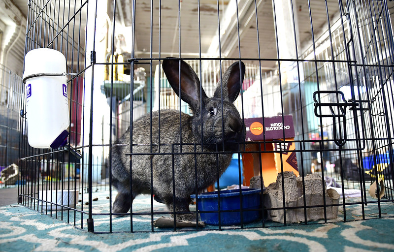 1/15/2020 Mike Orazzi | Staff Every Bunny Counts's Soledad in a cage at their location in the Sessions Building on Riverside Avenue in Bristol on Wednesday.
