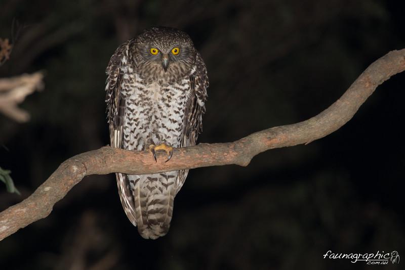 Adult Powerful Owl