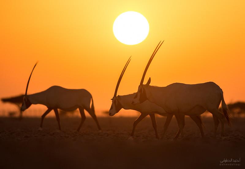 Arabian Oryx (21).jpg
