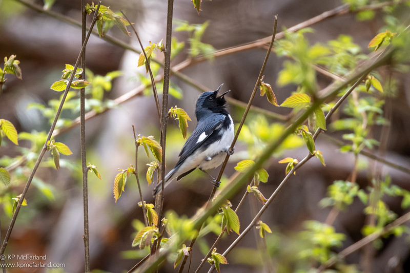 Black-throated Blue Warbler singing