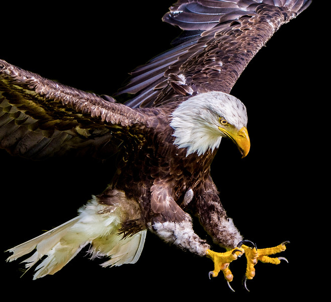 A bald eagle catching a fish in flight