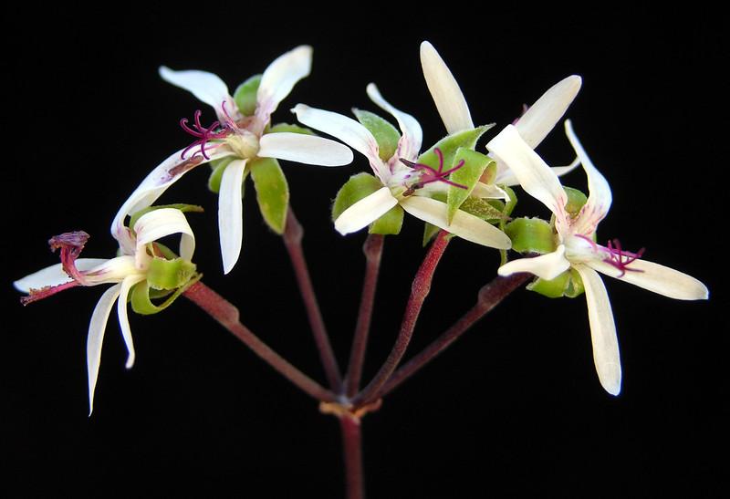 Pelargonium ceratophyllum flowers