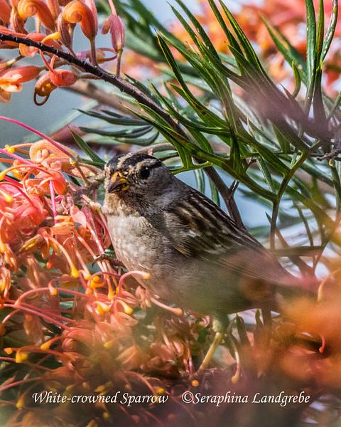 _DSC4614White-crowned Sparrow.jpg