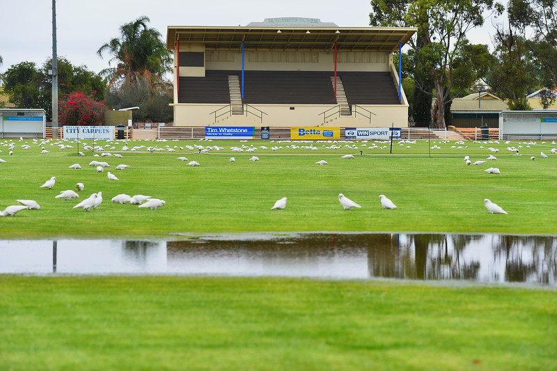 no cricket, no ducks but plenty of cockys on Berri Oval