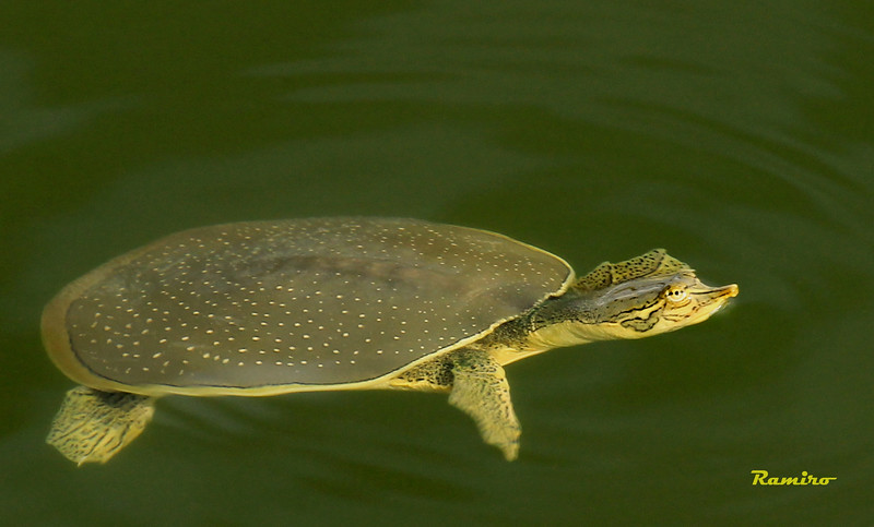 Softshell Turtle 9-5-15 077.jpg