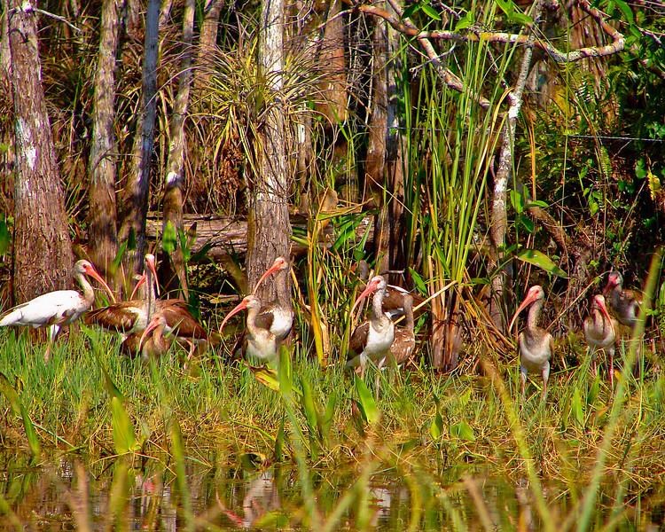 YOUNG IBIS EVERGLADES, FLORIDA
