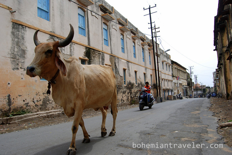 cow in the street of Junagadh.jpg