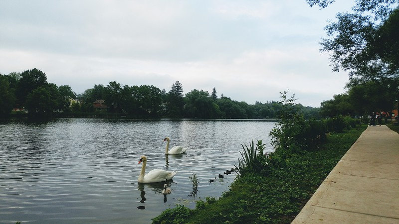 Swans swimming in the Avon River
