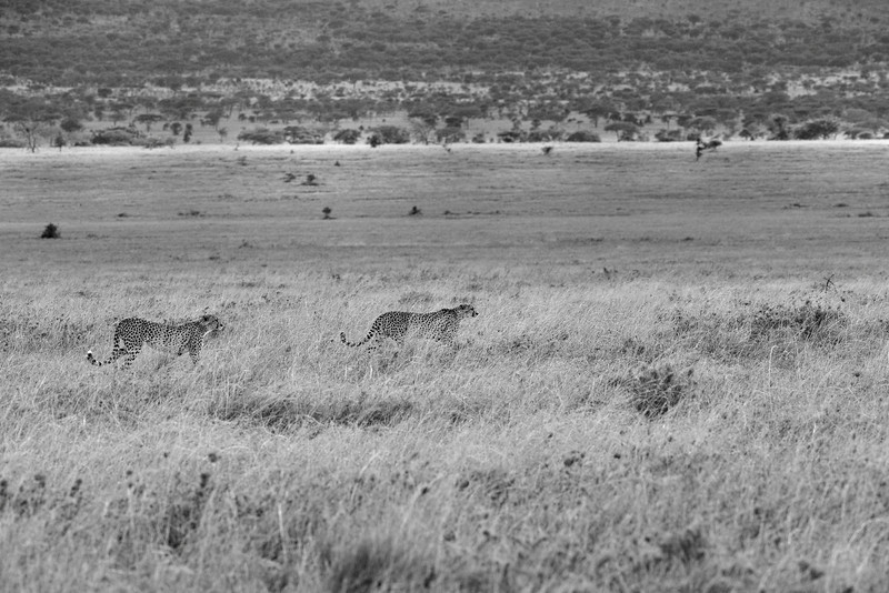 Cheetah-brothers-prowl-the-grassland.jpg