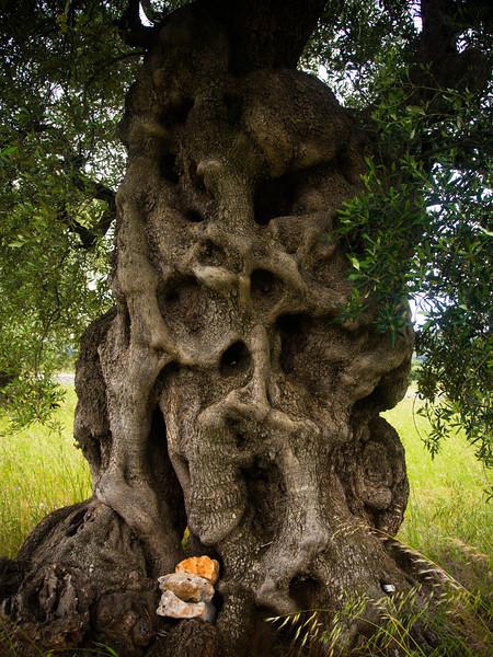 brindisi brancat olive trees 7.jpg