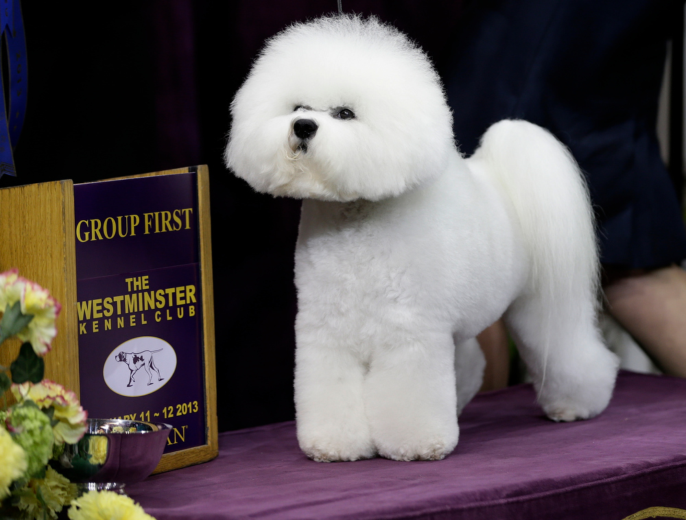 Description of . Honor, a Bichon Frise, and winner of the non-sporting group, is shown during the Westminster Kennel Club dog show Monday, Feb. 11, 2013, at Madison Square Garden in New York.(AP Photo/Frank Franklin II)