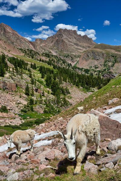 Inquisitive Mountain Goat