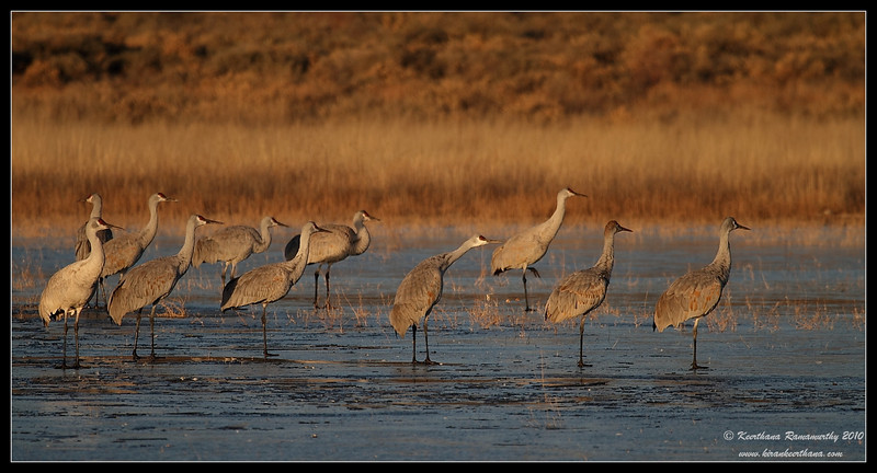 Sandhill Cranes ready to takeoff from a frozen lake, Bosque Del Apache, Socorro, New Mexico, November 2010