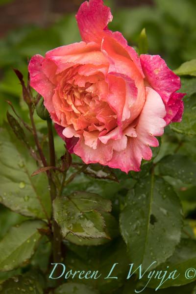 Rosa no tag_7000.jpg