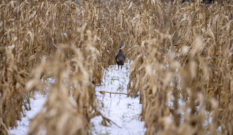Wild Turkey Skogstjarna Carlton County MN IMGC7903.jpg