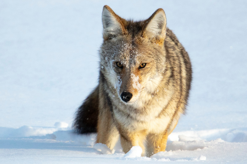 387A0110 Coyote close 3*2.jpg