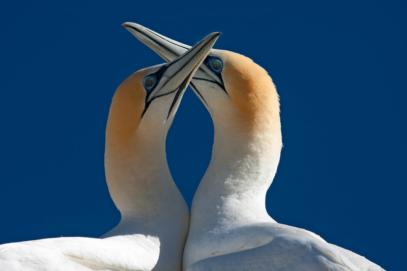 Australian gannets fencing, New Zealand