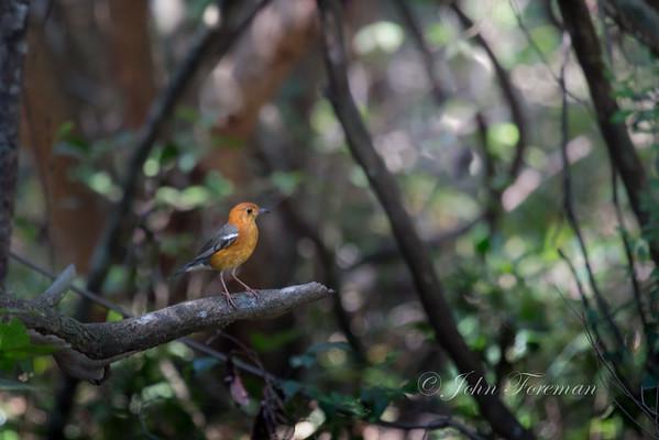 Orange-Headed Thrushes