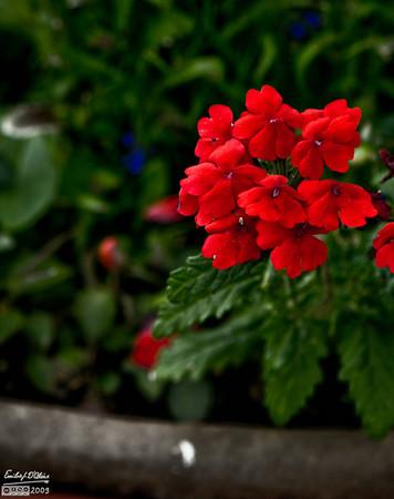 Flowers_July-2009