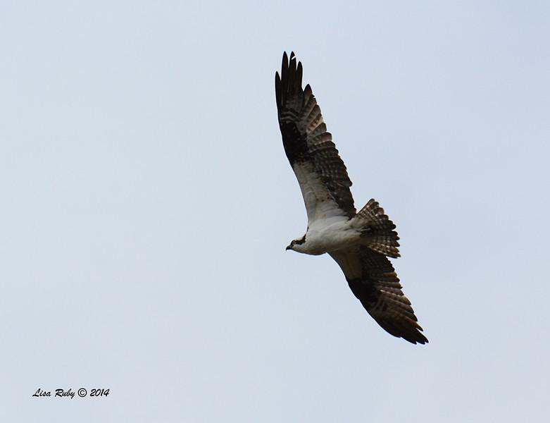 Osprey - 3/2/14 - Birding 100 San Diego Bird Festival