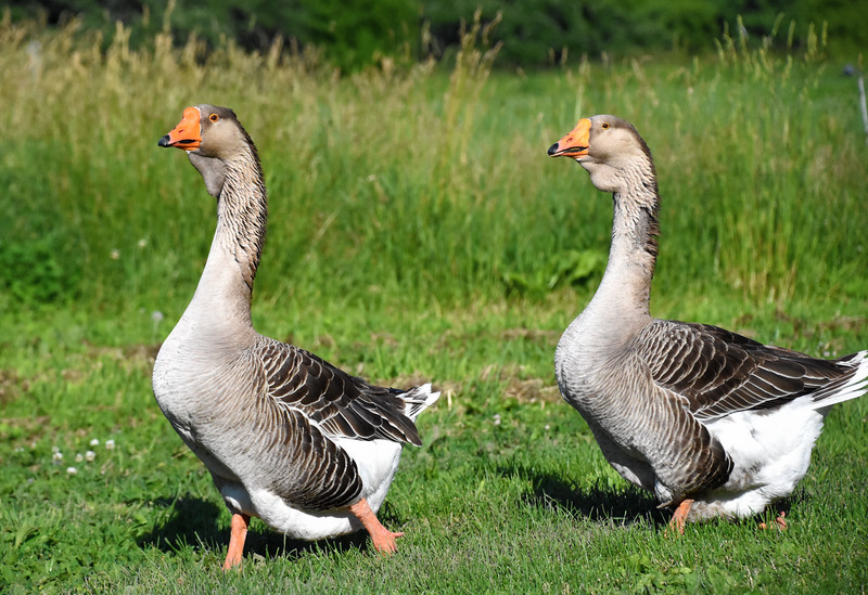 Toulouse Geese (Anser anser domesticus)