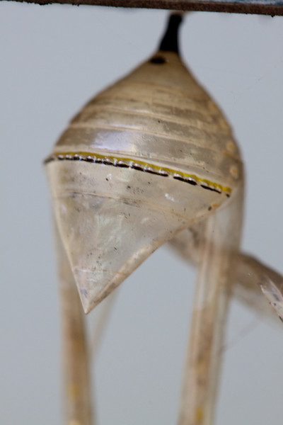 hatched monarch chrysalis.jpg