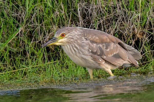 7-1-18 *^Black-Crowned Night-Heron - Juvenile